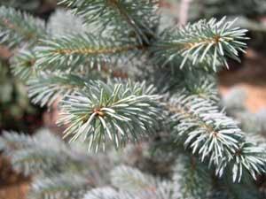 Мариупольские елки будут обрабатывать секретным веществом, фото-1