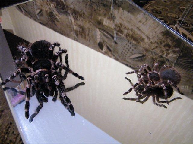 В Мариуполе поселились пауки-птицееды (ФОТО), фото-8