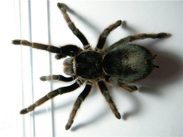 В Мариуполе поселились пауки-птицееды (ФОТО), фото-4