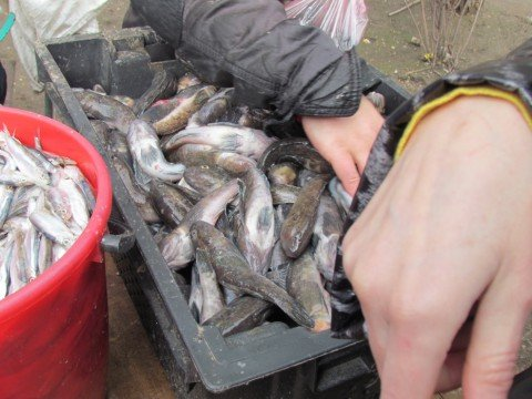 Азовская  рыба  холодов не испугалась. К побережью Мариуполя массово подошли бычок и тарань  (ФОТО), фото-1
