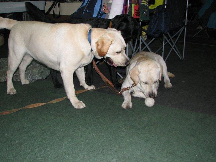 В Мариуполе прошли сразу две выставки собак (ФОТО) , фото-10
