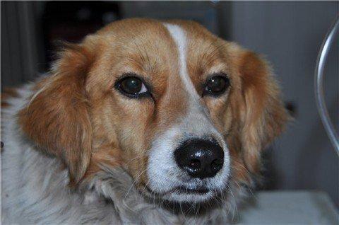Трехлапый пес из Мариуполя обрел новый дом и сохранил больную лапу, фото-1