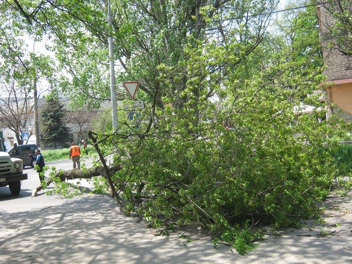 В Мариуполе без видимых причин упало большое дерево, перекрыв проезжую часть (ФОТО), фото-1