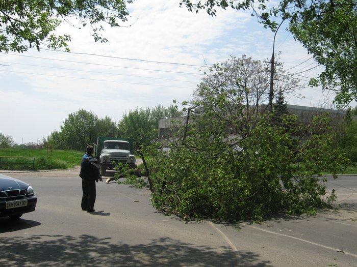 В Мариуполе без видимых причин упало большое дерево, перекрыв проезжую часть (ФОТО), фото-4