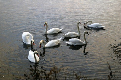 Приазовье заполонили лебеди и дикие гуси, фото-1