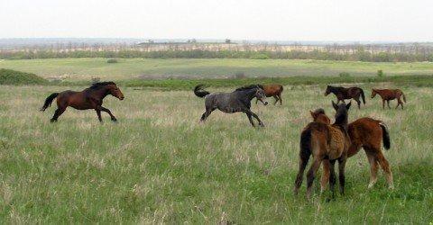 В «Хомутовской степи» табун лошадей помогает сохранить животный и растительный мир заповедника, фото-1