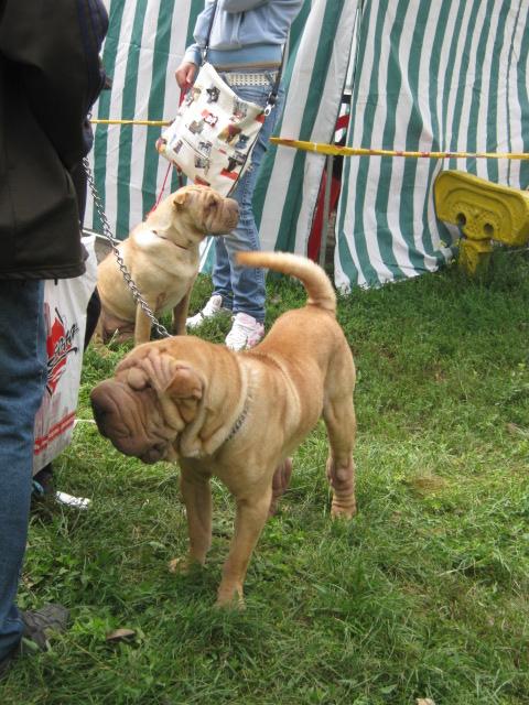 В Мариуполе лучшими племенными псами признаны доберман, цвергшнауцер и мопсы (ФОТОРЕПОРТАЖ), фото-19