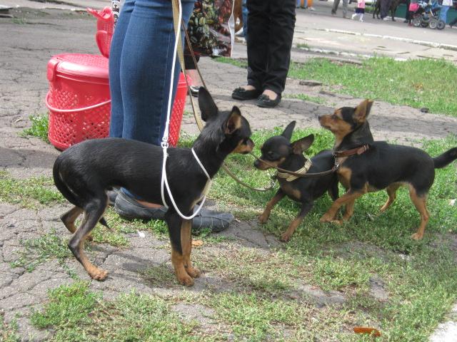 В Мариуполе лучшими племенными псами признаны доберман, цвергшнауцер и мопсы (ФОТОРЕПОРТАЖ), фото-2