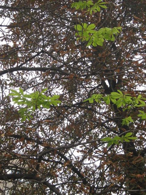 В Мариуполе осеннее цветение каштанов становится массовым (ФОТО), фото-3