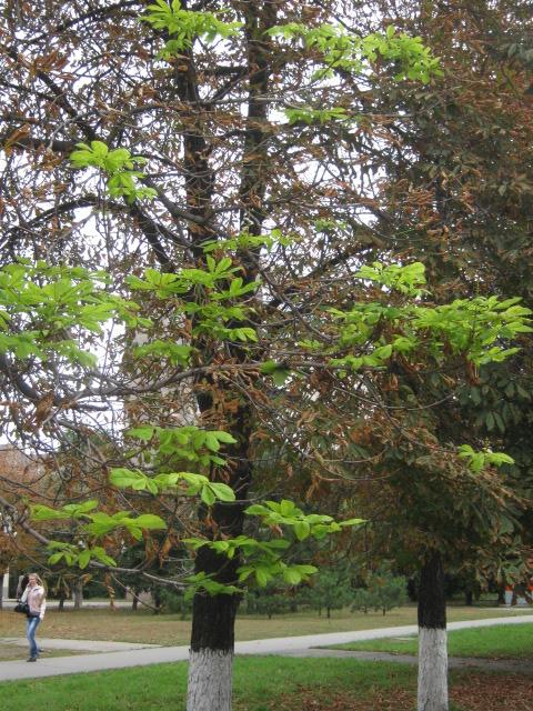 В Мариуполе осеннее цветение каштанов становится массовым (ФОТО), фото-4
