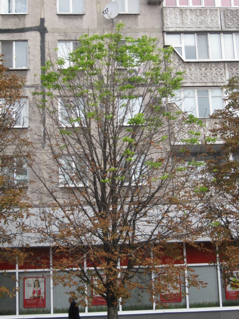 В Мариуполе осеннее цветение каштанов становится массовым (ФОТО), фото-2