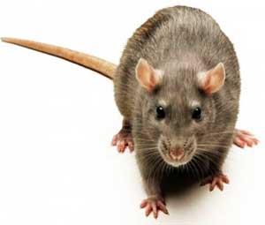 СЭС призывает мариупольцев бороться с крысами и опасаться хомячков, фото-1