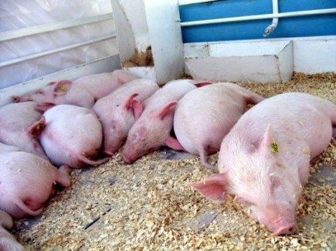 В Мариуполе Горводоканал лишится поголовья свиней, фото-1