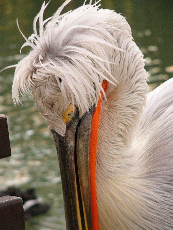 Уникальное явление! В Приазовье гнездятся пеликаны, фото-1