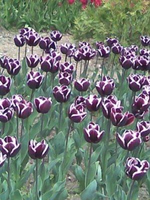 В Крыму открылась выставка тюльпанов, фото-1