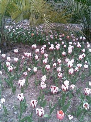 В Крыму открылась выставка тюльпанов, фото-2