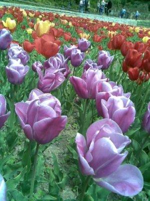 В Крыму открылась выставка тюльпанов, фото-3