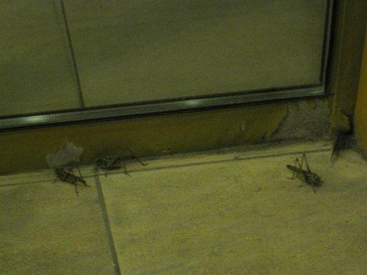 Луганская саранча оказалась одним из видов кузнечиков (фото), фото-1
