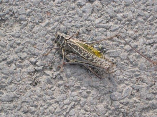 Луганская саранча оказалась одним из видов кузнечиков (фото), фото-2