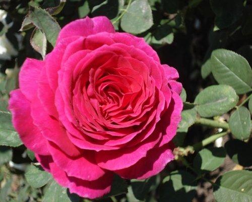 А в Ботаническом саду зацвели розы! (ФОТО), фото-1