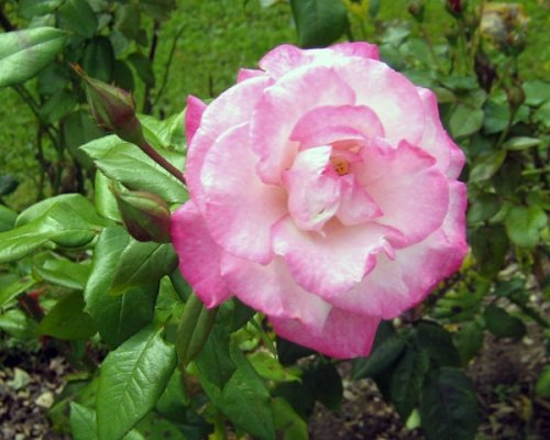 А в Ботаническом саду зацвели розы! (ФОТО), фото-2