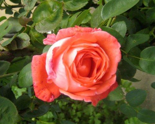 А в Ботаническом саду зацвели розы! (ФОТО), фото-3