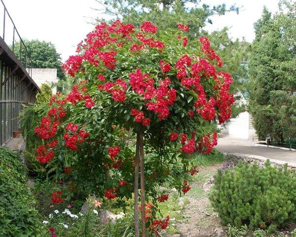 А в Ботаническом саду зацвели розы! (ФОТО), фото-4