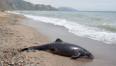 В Коктебеле на берегу обнаружен мертвый дельфин (ФОТО), фото-1