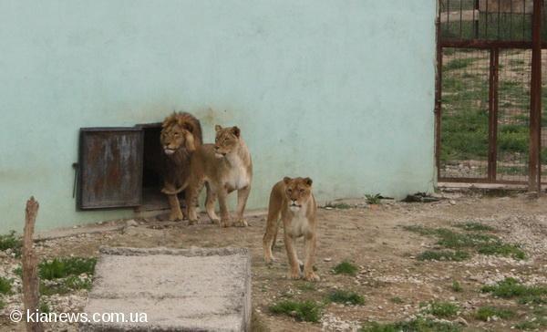 В крымском сафари-парке из вольеров выпустили 15 львов (фото), фото-1