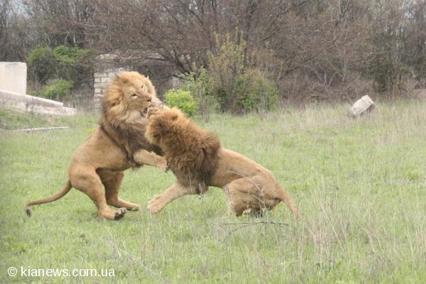 В крымском сафари-парке из вольеров выпустили 15 львов (фото), фото-2