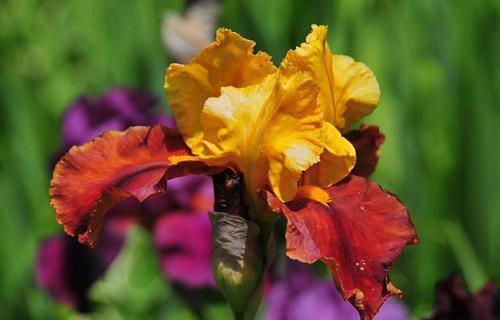 В Никите расцветают ирисы (ФОТО), фото-1