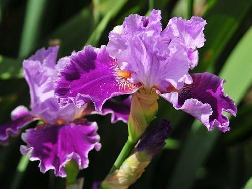 В Никите расцветают ирисы (ФОТО), фото-2