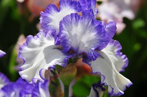 В Никите расцветают ирисы (ФОТО), фото-3