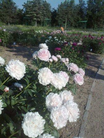 В Ботаническом саду благоухает около 200 видов роз (фотофакт), фото-5
