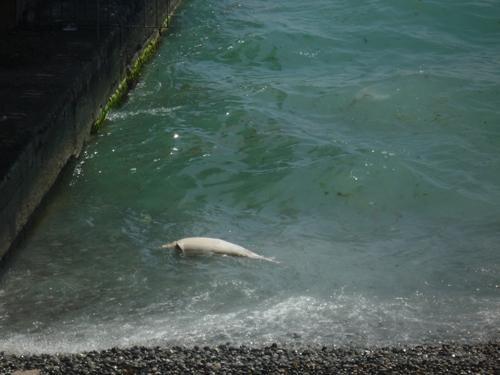 В Ялте в море плавал мертвый дельфин (ФОТО), фото-1