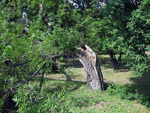 В Александровске падают деревья (фото), фото-2