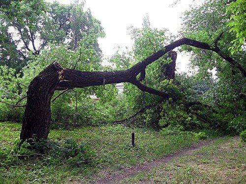 В Александровске падают деревья (фото), фото-1