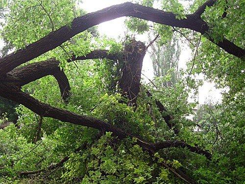 В Александровске падают деревья (фото), фото-3