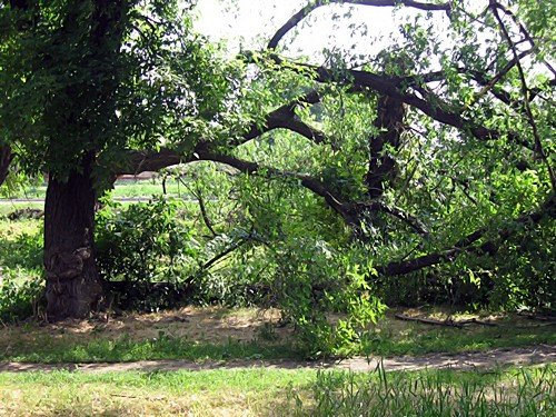 В Александровске падают деревья (фото), фото-4
