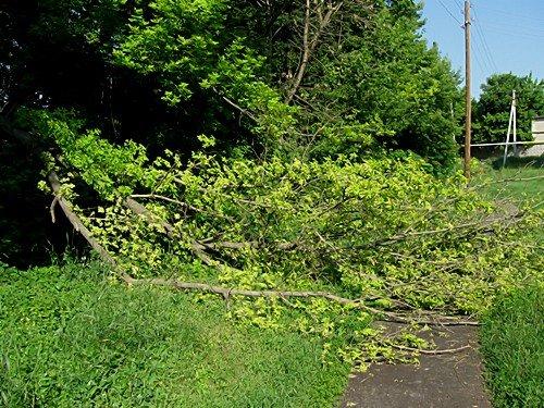 В Алексанровске валятся деревья, но пилить старые деревья никто не собирается (фото), фото-1