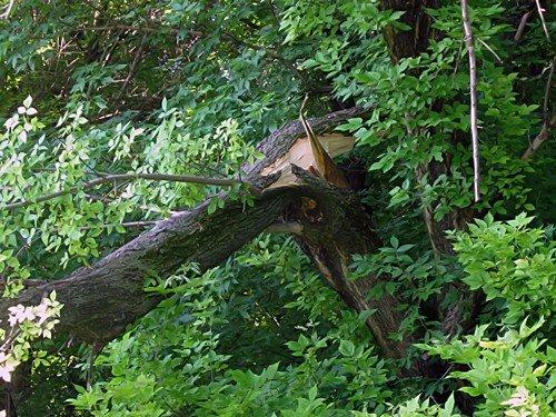 В Алексанровске валятся деревья, но пилить старые деревья никто не собирается (фото), фото-3