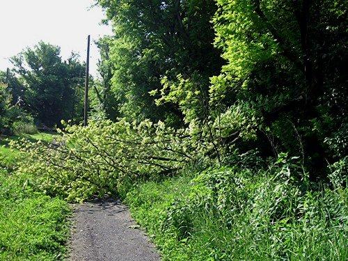 В Алексанровске валятся деревья, но пилить старые деревья никто не собирается (фото), фото-2