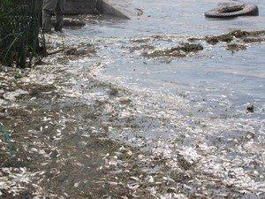На Одесщине массово гибнет рыба (фото), фото-1