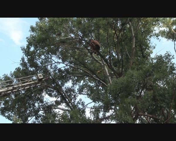 В Запорожье полуголый пьяный мужчина застрял на дереве (ФОТО), фото-1