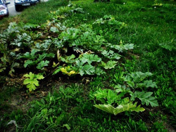 Небезпечний борщівник росте в Тернополі навіть на газонах, фото-3