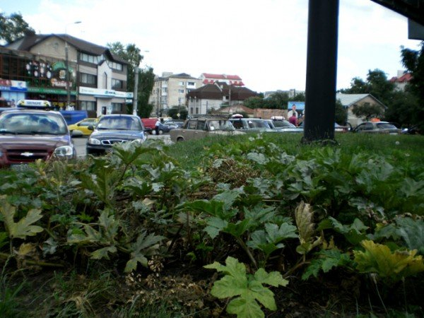 Небезпечний борщівник росте в Тернополі навіть на газонах, фото-2
