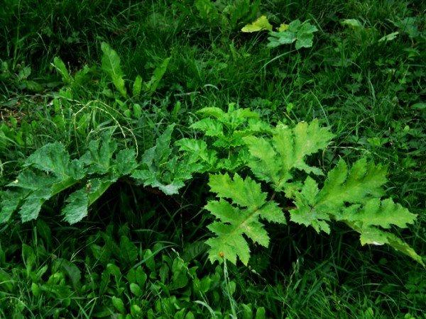 Небезпечний борщівник росте в Тернополі навіть на газонах, фото-1