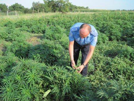 В Запорожской области милиция нашла 45 гектар конопли (ФОТО), фото-1