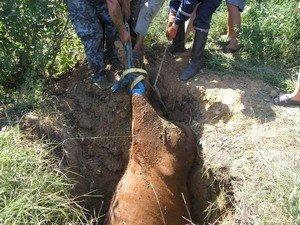 В Одесской области МЧСники спасали корову (фото), фото-1