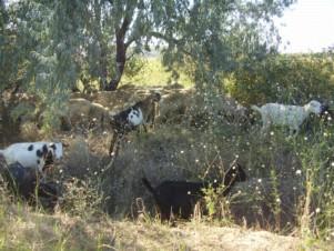 Пограничники в Одесской области не сумели задержать овец-нарушителей, фото-1